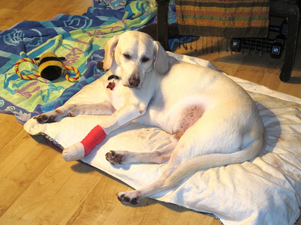 dog nail injuries